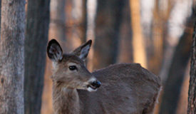 Texas: Deer Breeders Seek Fewer Regulations