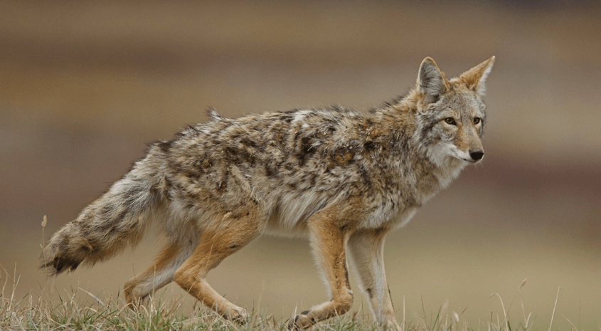 Predator Control Necessary for Robust Hunting Lands