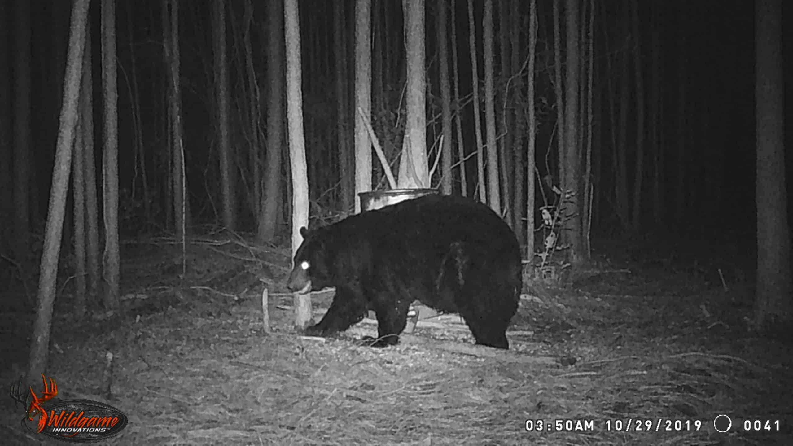Large male bear